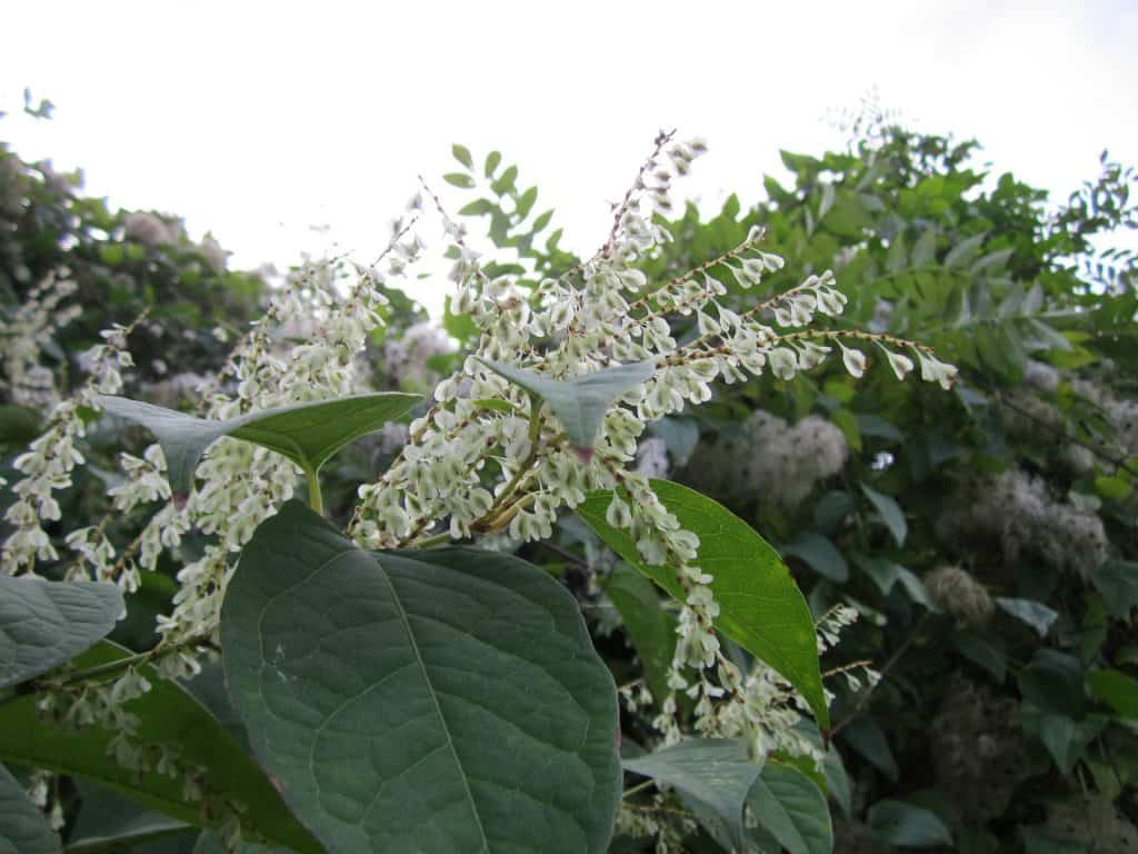 Japanese Knotweed Mortgage, Japanese Knotweed Mortgage, Albion Forest Mortgages